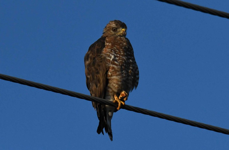 Broad-winged Hawk -- Buteo platypterus