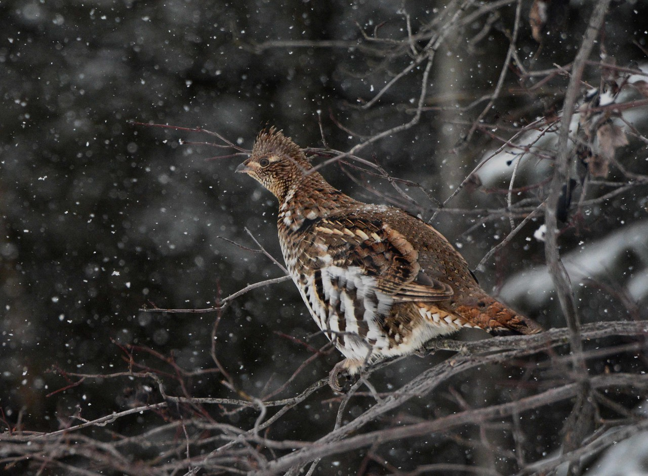 "Ruffed Grouse -- Bonasa umbellus, did not offer a complaint<br /> <br /> ""To resist, to protest, a thousand times to resist. It astonishes me to see that the so-called intelligentsia is softened and corrupted by power and money."" ~ Gabriella Mistral"