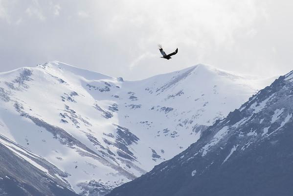 Condor Andino, Parque Nacional Los Alerces