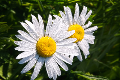 Droplets on Daisies