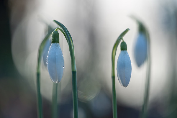 First snowdrops III