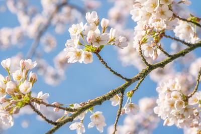 Cherry blossom IV