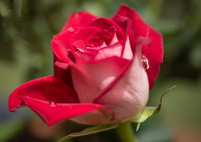 Dew covered rose