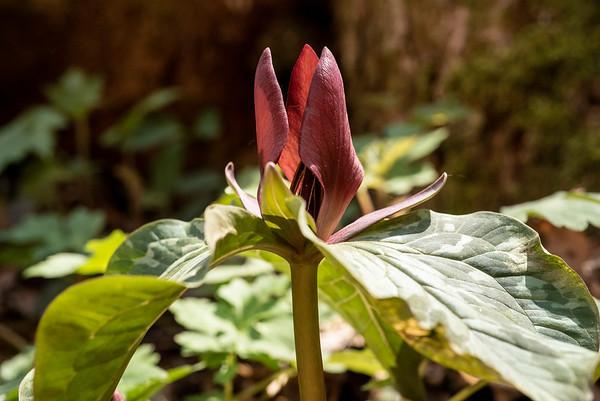Little Sweet Betsy (Trillium cuneatum)