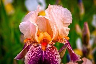 Iris at Presby Gardens
