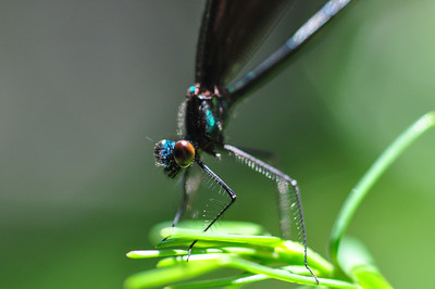 Ebony Jewelwing Dragon Fly