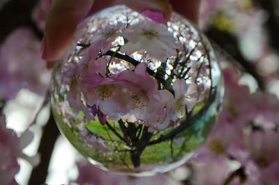 Cherry Blossoms - Branch Brook Park - Newark, New Jersey