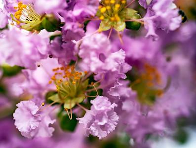 Crape Myrtle blossom