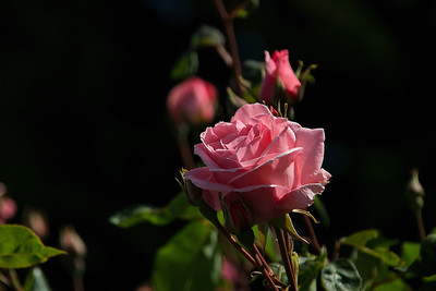 Pink Rose in Evening Light