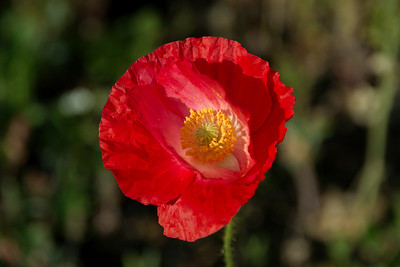 Red Poppy in Morning Sunlight