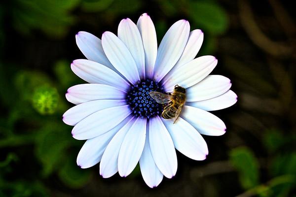 Dead Bee on a Blue Eyed Daisy