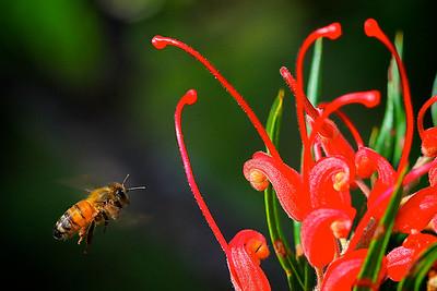 Honey Bee Flying towards a Red Grevillea Flower