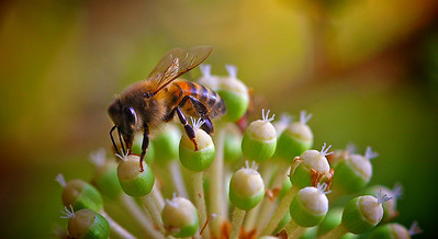 Honey Bee on a white flower