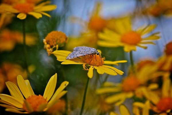 A Heliotrope Moth on a worn out Daisy 2