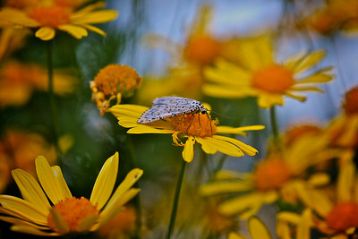 A Heliotrope Moth on a worn out Daisy 2