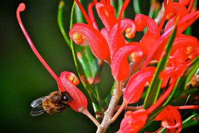 A Honey Bee and a Red Grevillea