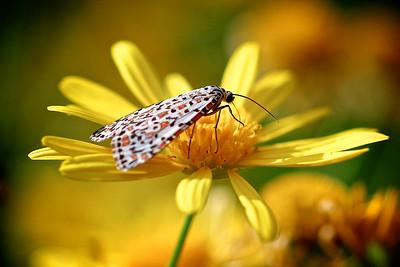 Heliotrope Moth on a Daisy