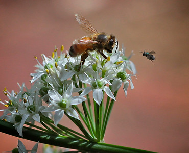 A Bee and a nativ Bee on Garlic Chives