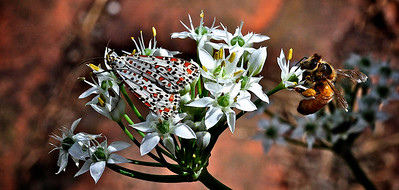 A Heliotrope Moth and Bee on Garlic Chive Flowers