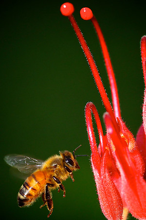 Pretty Honey Bee Flying to a Grevillea Flower