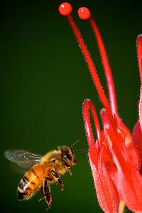 Pretty Honey Bee Flying to a Grevillea Flower