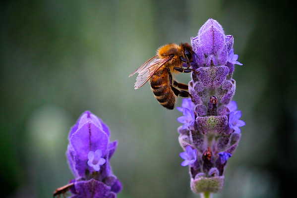 Honey Bee on top of a Lavender Flower
