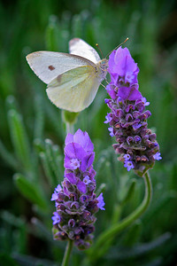 A Cabbage White Butterfly on a Lavender Flower