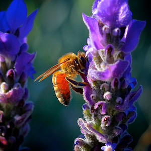 Honey Bee on a Lavender Flower in the Sunlight