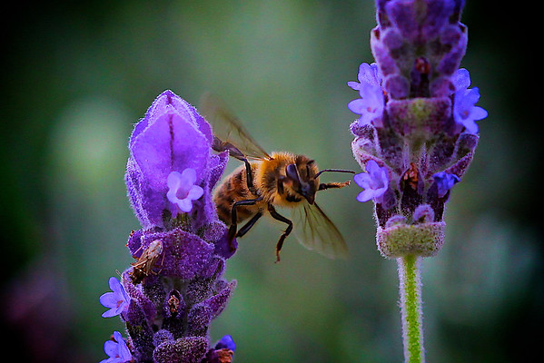 Honey Bee Breaching Two Lavender Stalks