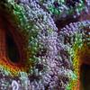 "Acanthastrea lordhowensis close-up. <a href=""http://www.microworldsphotography.com/photos/i-gqbTJcm/0/O/i-gqbTJcm.jpg""> Close-up</a> of this image illustrating the amount of details captured."