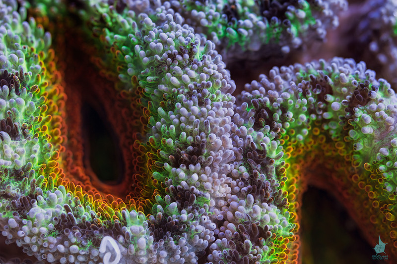"Acanthastrea lordhowensis close-up. <a href=""http://www.microworldsphotography.com/photos/i-gqbTJcm/0/O/i-gqbTJcm.jpg""> Close-up</a> of this image illustrating the amount of details captured."