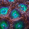 Zoanthid polyps up close in a 30-image focus stack. The pigment patterns turn out to be more complex when viewed under high magnification. <br><br>This image is available as a gorgeous open edition print.