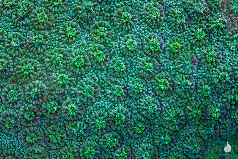 "<p align=""left""> Coral surface (possibly <i>Cyphastrea</i> sp.) close-up.  </p>"