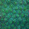 """<p align=""""left""""> Coral surface (possibly <i>Cyphastrea</i> sp.) close-up.  </p>"""