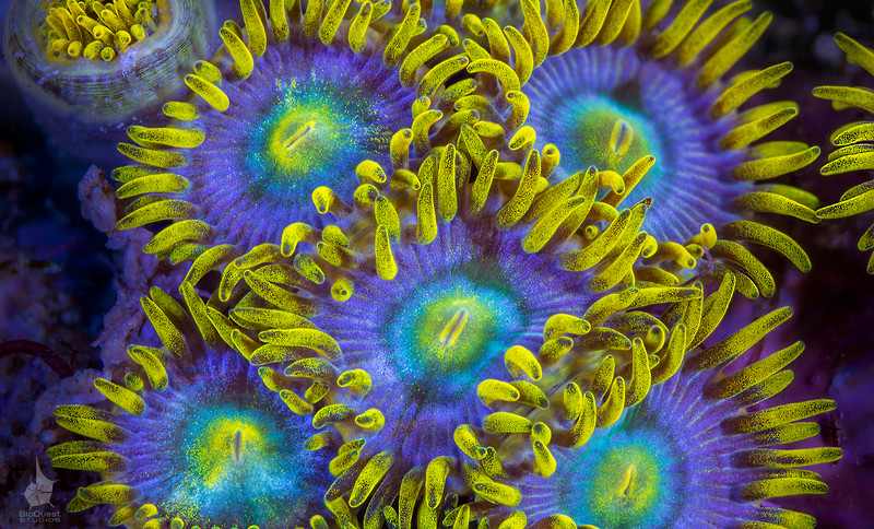 Zoanthid sp. Supermacro closeup of tiny polyps.