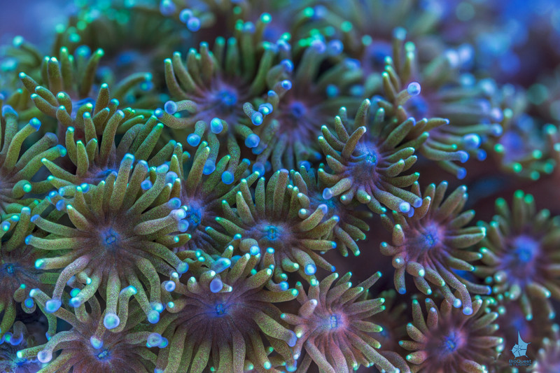 """<p align=""""left""""> <i>Goniopora</i> sp. coral. </p>  <br>  <p align=""""left""""><a href=""""http://www.microworldsphotography.com/Other/3D-stereo/n-CwqJW/i-4jT2Chf/A""""> Side-by-side</a> for those who are comfortable with eye-crossing.</p>"""