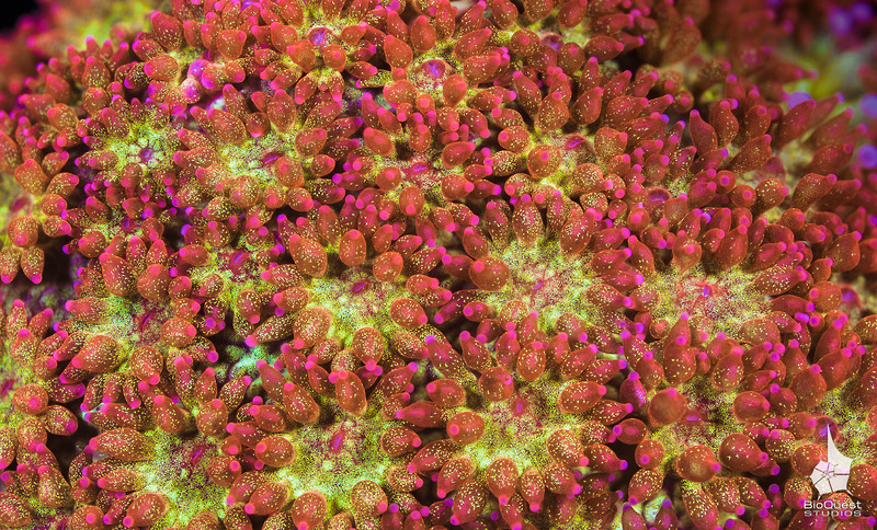 A rare colouration of a goniopora sp coral. Each polyp is just 2 mm in diameter.