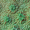 "<p align=""left""> A hard coral (possibly <i>Cyphastrea</i>) extreme close-up. This is a stacked image. </p>"