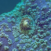 """<p align=""""left"""">A blue mushroom coral (<i>Discosoma</i> sp).  </p><br><br>  <p align=""""left""""><a href=""""http://www.microworldsphotography.com/Other/3D-stereo/n-CwqJW/i-NGK4bL7/A"""">Side-by-side stereo image</a> for those who are comfortable with eye-crossing.</p>"""