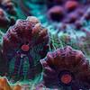 Chalice coral (Pectiniidae)