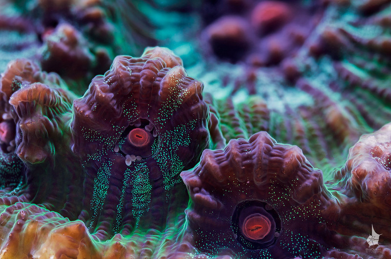 Chalice coral (Pectiniidae). In focus are the polyps on the periphery. In the background the center of the colony is visible.