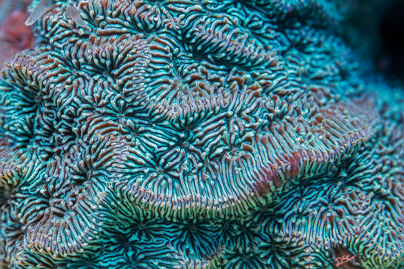 <i>Pavona varians</i> close-up. The width of the imaged area is around 2.5 cm. This coral is well known for its morphological variability.