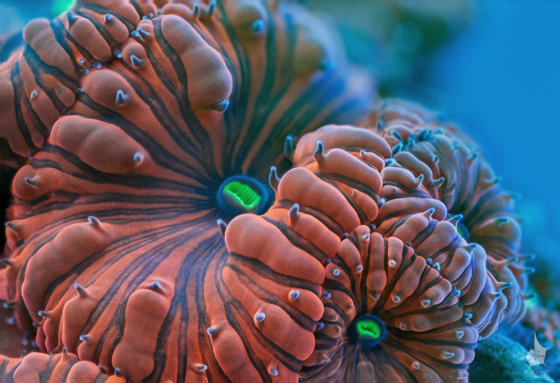 "<p align=""left""> Coral (<i>Blastomussa wellsi</i>) extreme close-up. </p> <br> <p align=""left"">This image is available in 3d. <a href=""http://www.microworldsphotography.com/Other/3D-stereo/n-CwqJW/i-ZFvQcVj/A"">Side-by-side stereo image</a> for those who are comfortable with eye-crossing. Other formats coming soon.</p>"