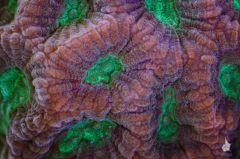 """<p align=""""left""""> Coral surface (<i>Favites pentagona</i>) extreme close-up.   </p><br>   <p align=""""left""""><a href=""""http://www.microworldsphotography.com/Other/3D-stereo/n-CwqJW/i-zbFWvq5/A"""">Side-by-side stereo image</a> for those who are comfortable with eye-crossing.</p>"""