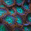 Zoanthid polyps.<br /> <br /> The width of the captured area was about 3 cm.