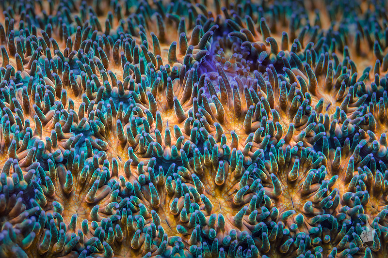 """Leptastrea coral. These colorful polyps are about a few mm each. <br>  <a href=""""http://www.microworldsphotography.com/photos/i-HnwPCN5/0/O/i-HnwPCN5.jpg""""> Close-up</a> of this image illustrating the amount of details captured."""