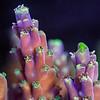 Acropora coral tips.