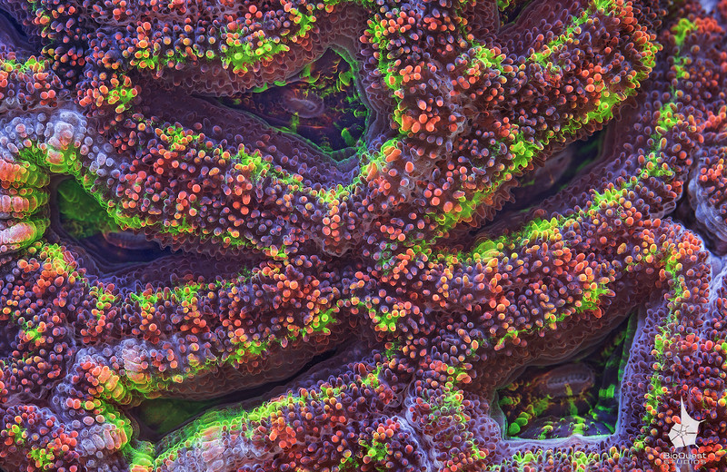 Details of an Acanthastrea sp coral.