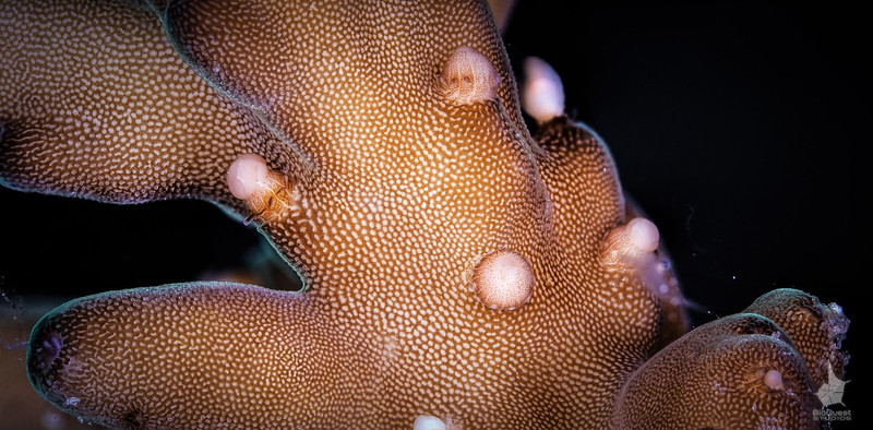 Acropora loripes spawning
