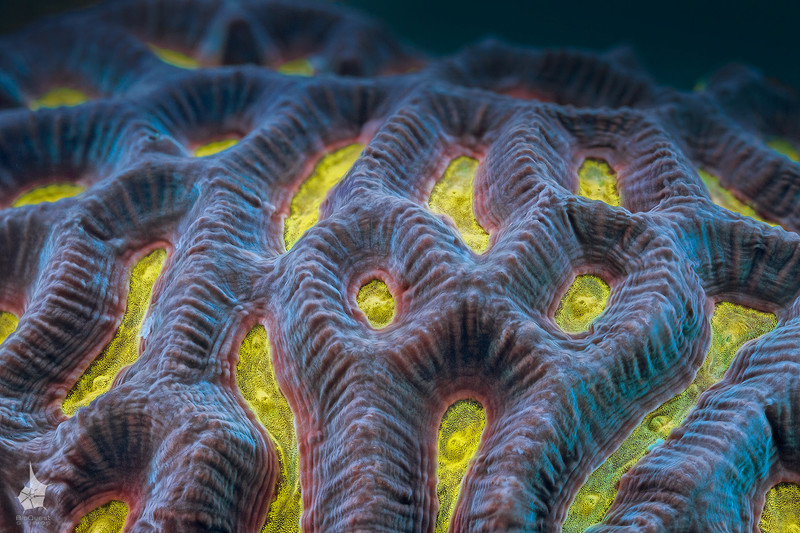 """<p align=""""left""""> Yellow color is pretty rare among corals. This """"species"""" is commonly reffered to as """"rainbow platygyra""""    </p>"""
